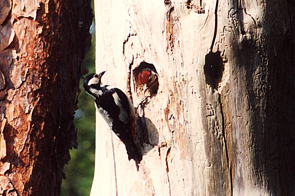 Greater Spotted Woodpecker, Female & Chick